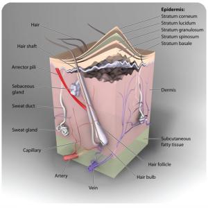 La peau barrière évitant la surinfection d'un bouton de fièvre