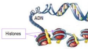 Avant la réactivation virale, l'ADN se trouve lié aux histones cellulaires